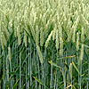 thumb_Wheat_field